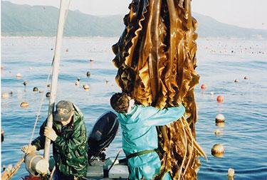 北海道の昆布