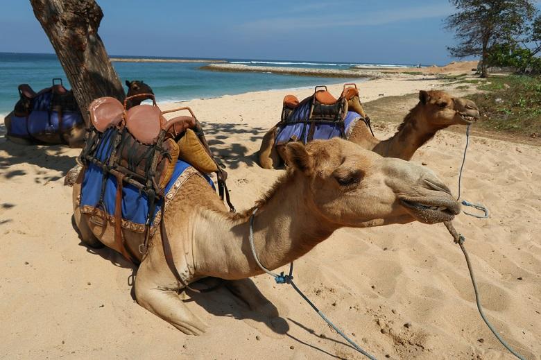 ラクダの乗り体験