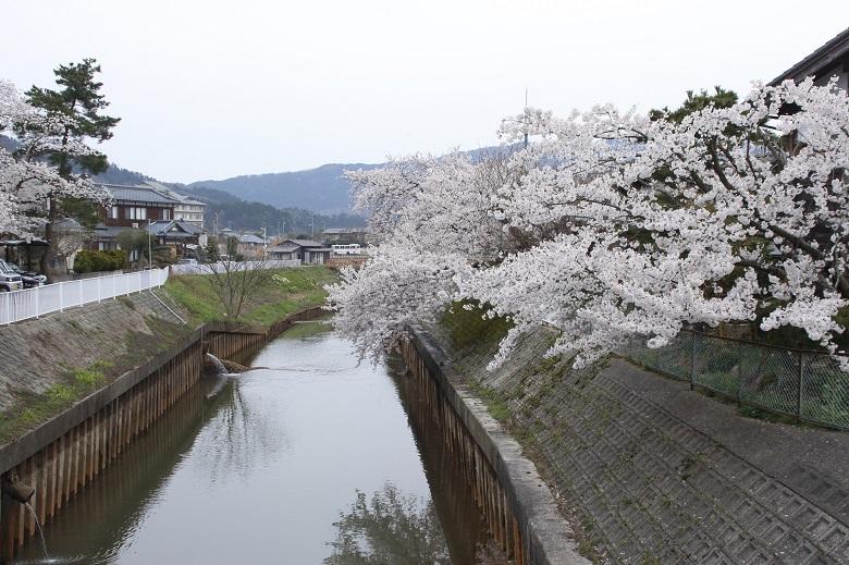 岩室温泉の桜並木