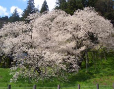 樹齢1100年といわれる臥龍桜