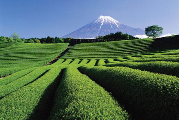 静岡のお茶畑