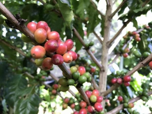 コーヒーの実は熟すとワインレッドに