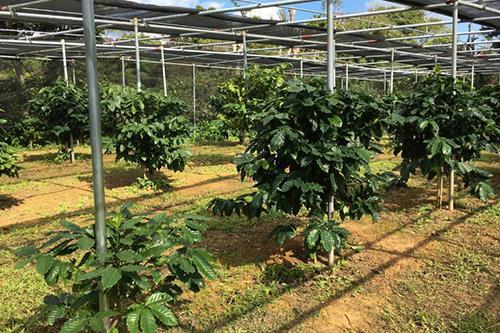 コーヒー農園での収穫体験