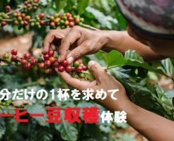 コーヒー豆収穫体験を沖縄で