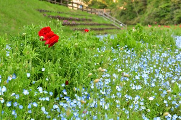 横須賀・くりはま花の国