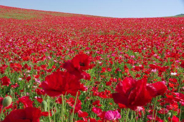 「天空のポピー」彩の国ふれあい牧場