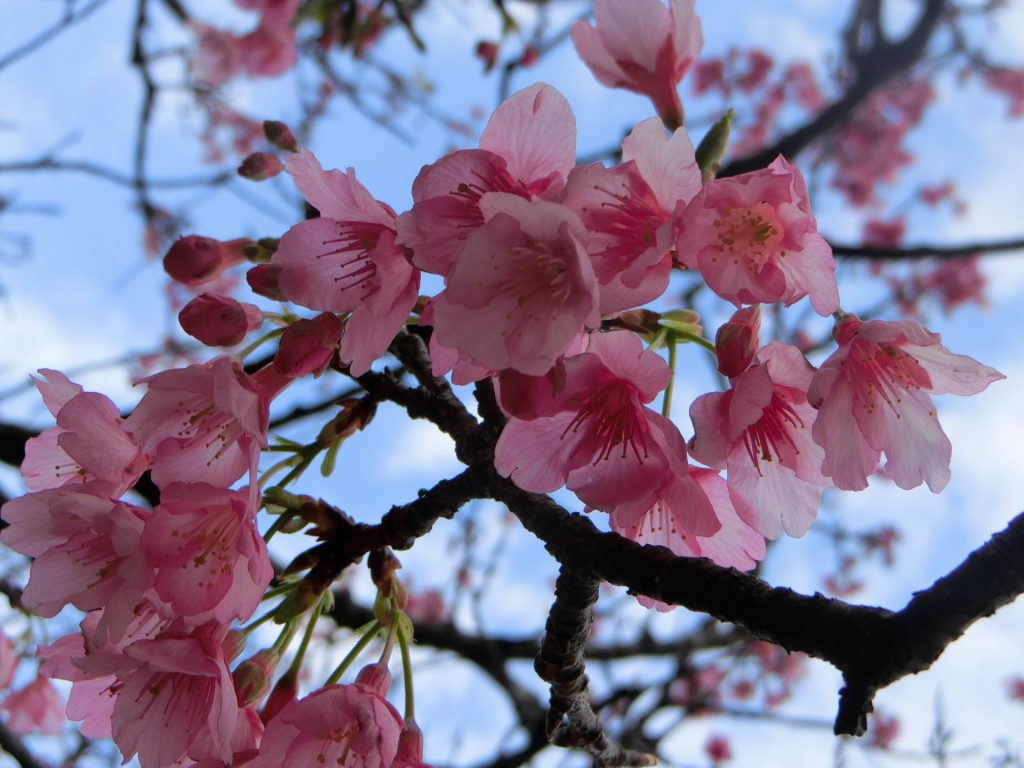 寒緋桜が咲く沖縄