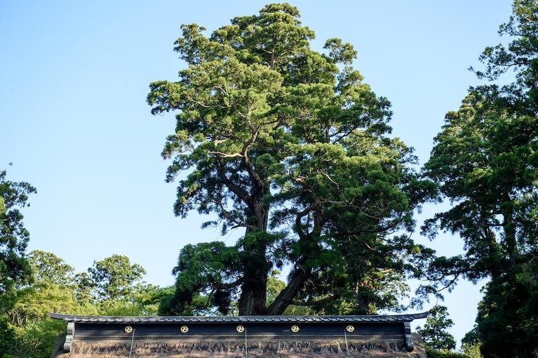鹿島神宮の御神木