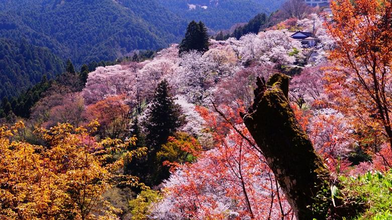 関西の桜の名所・奈良の吉野山