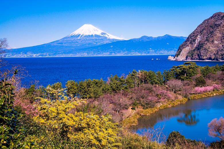 春の静岡・富士山と河津桜の眺め