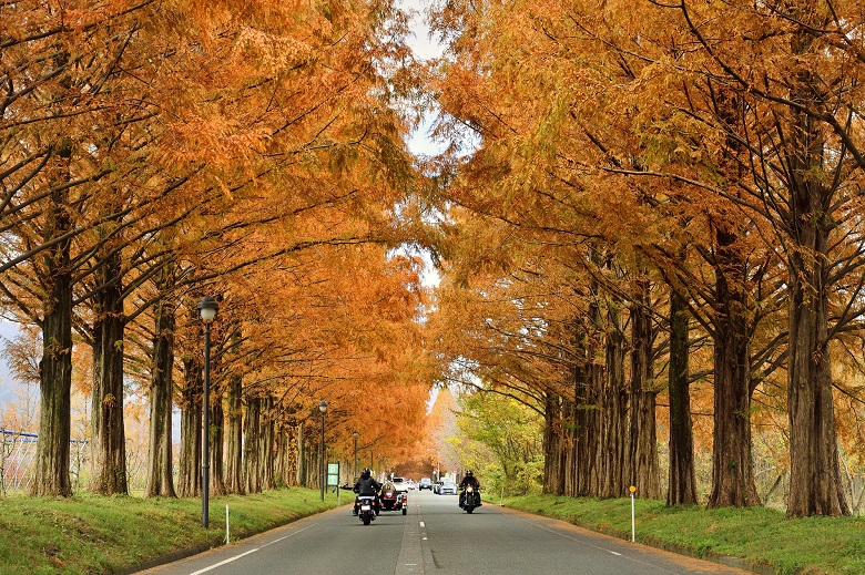 滋賀・マキノ町のメタセコイア並木