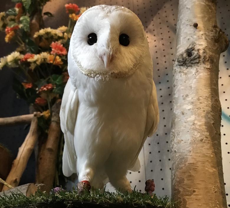 白メンフクロウ