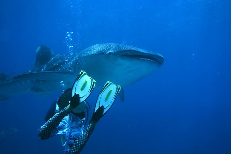 セブ島でジンベイザメと泳ぐツアー