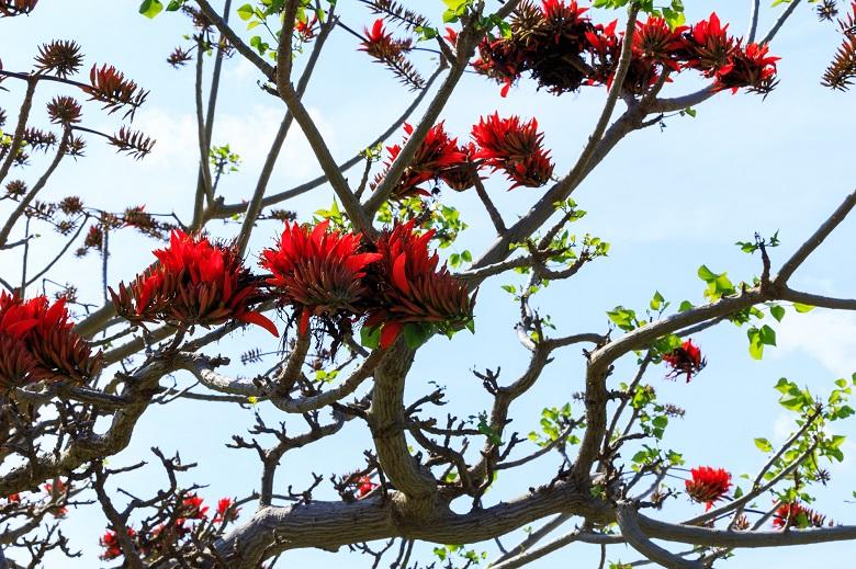 加計呂麻島のデイゴの花