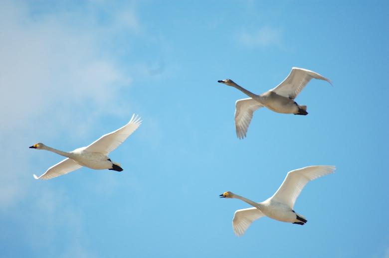 伊豆沼・内沼の白鳥